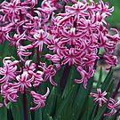 Fragrant Hyacinths by kkphoto1
