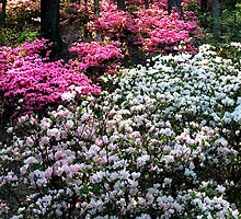 Spring Azaleas...pink and white by Yvonne Powell