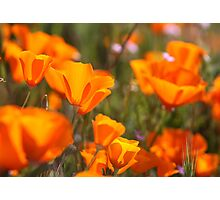 Golden State Poppies Photographic Print