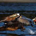 Graceful Wings--Brown Pelicans by wademcmillan