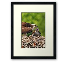 An Osprey Feeding a Chick Framed Print