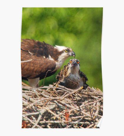An Osprey Feeding a Chick Poster
