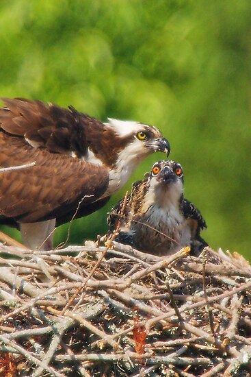 An Osprey Feeding a Chick by Wayne Hughes