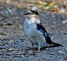 Laughing Kookaburra II by Tom Newman