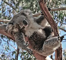 Koala at Phillip Island Victoria by Tom Newman