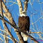 tanning eagle  by jeff welton