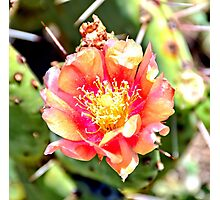 Red and Yellow Cactus Flower Bloom Photographic Print