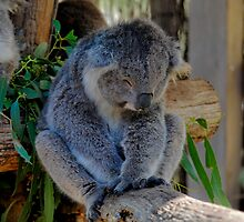 Sleepy Koala by Tom Newman