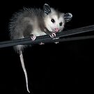 Baby Opossum Doing High Wire Act by Michael  Moss