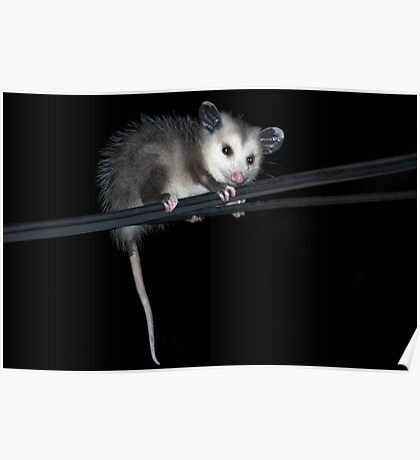 Baby Opossum Doing High Wire Act Poster