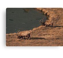 Pair Of Bull Elk Canvas Print