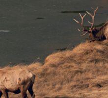 Pair Of Bull Elk Sticker