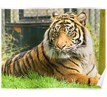 Magestic Tiger Poster