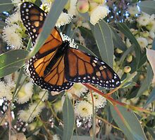 LANDING COMPLETED! Monarch butterfly. Mount Pleasant, Sth. Australia. by Rita Blom