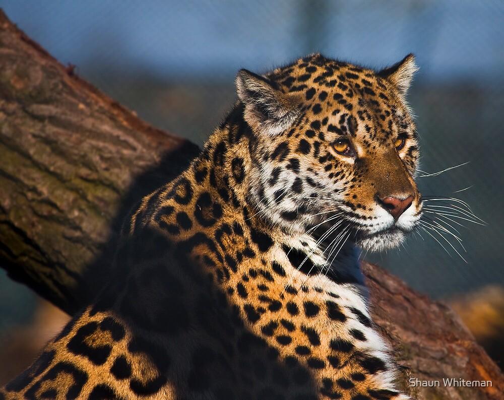 Thoughtful jaguar by Shaun Whiteman