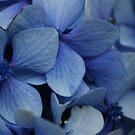Blue Hydrangea Close Up  by shane22