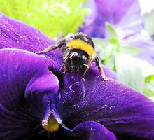 Bumble bee on Pansy by Caroline Anderson