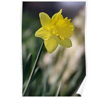 Daffodil 1 Poster