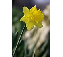 Daffodil 1 Photographic Print