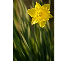 Daffodil 2 Photographic Print
