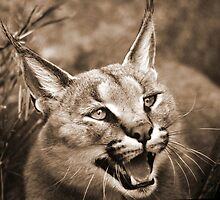 caracal by thula