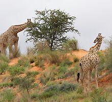 Giraffe grazing in Africa by Rudi Venter