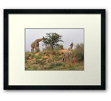 Giraffe grazing in Africa Framed Print