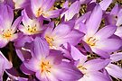 Autumn Crocus Delight by coffeebean