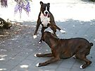 Playtime  -Boxer Dogs Series- by Evita
