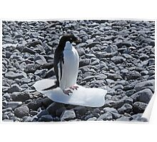Adelie pinguin on his last piece of ice in Antarctica Poster