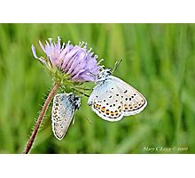 Pair of Silver-studded Blue, Plebejus argus Photographic Print