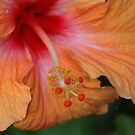 Hibiscus by Selsong