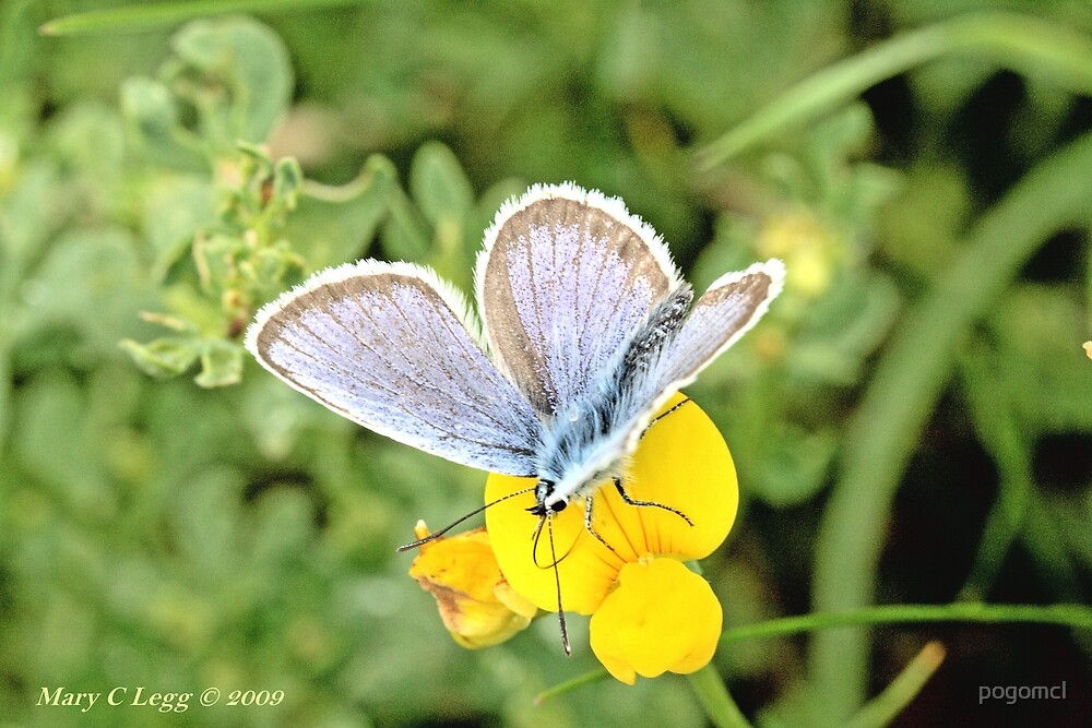Silver-studded Blue, Plebejus argus by pogomcl