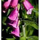 Digitalis Purpurea by elithenia
