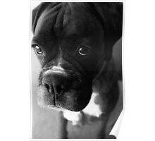 Can't You Tell... It wasn't Me... - Boxer Dogs Series Poster