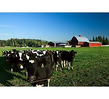 Dairy Cattle and Red Barn Photographic Print