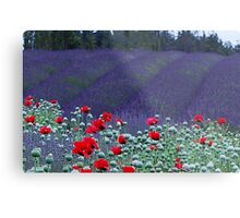 Poppies in the Lavender fields Metal Print