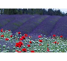 Poppies in the Lavender fields Photographic Print