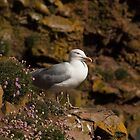 Longhaven Cliffs - Herring Gull by Stuart1882