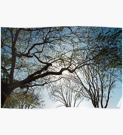 acacia tree Poster