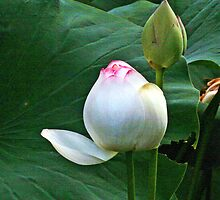 Lotus Lily, Waiting To Burst into Full Bloom by Kenric A. Prescott