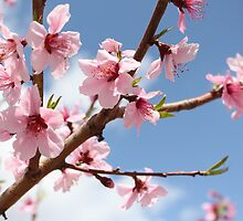 Peach Blossoms by Michael McCasland