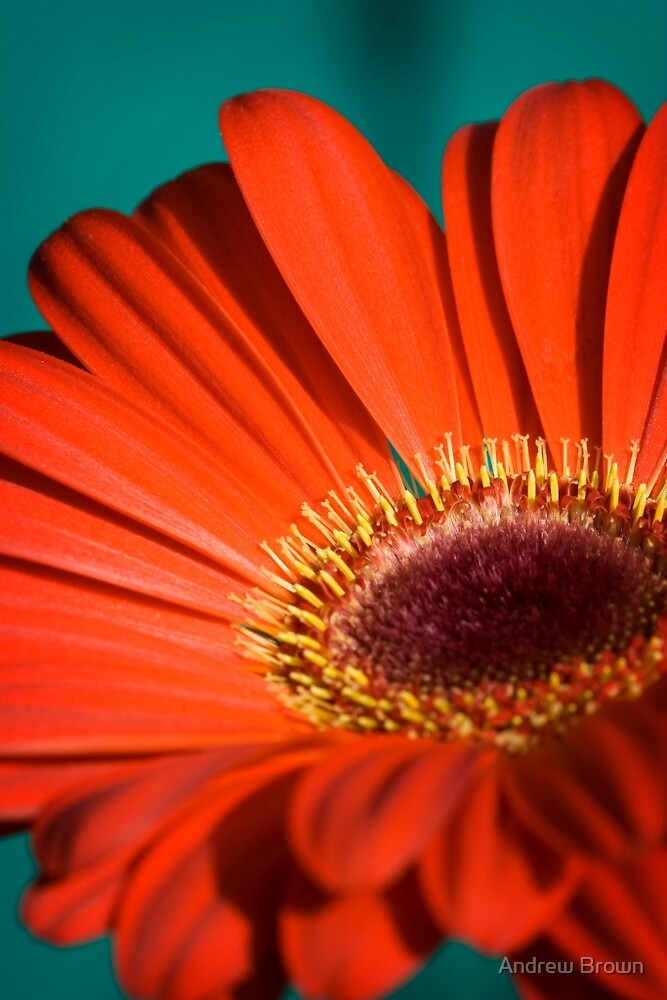 Red Gerbera I by Andrew Brown