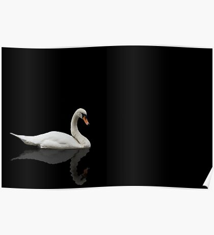 Swan on Black Background  Poster
