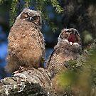 Owlet Siesta by Martin Smart