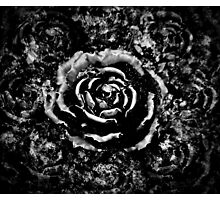 Black cemetery rose Photographic Print