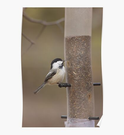 Feeding time for a chickadee Poster