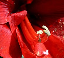 Amaryllis pistils and stamens by sstarlightss