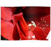 Amaryllis pistils and stamens Poster