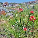 Inks Lake Indian Paintbrush by Nick Conde-Dudding